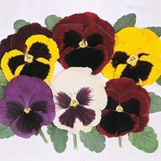 Pansy 'Majestic Giants Mixed' F1 Hybrid - 1 packet (30 pansy seeds)