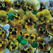 Pansy 'Envy' - 1 packet (20 pansy seeds)