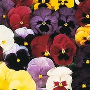 Pansy 'Mello® 21' F1 Hybrid - 1 packet (30 pansy seeds)