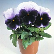Pansy 'Silver Wings' - 1 packet (25 pansy seeds)