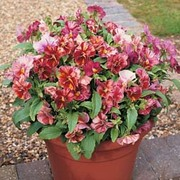 Pansy 'Chianti' F1 Hybrid - 1 packet (20 pansy seeds)