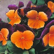Pansy 'Jolly Joker' F2 Hybrid - 1 packet (40 pansy seeds)