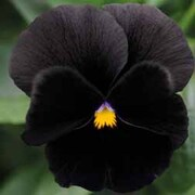 Pansy 'Black Moon' F1 Hybrid - 1 packet (25 pansy seeds)