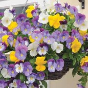 Pansy 'Plentifall Mixed' F1 Hybrid - 1 packet (12 pansy seeds)