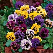 Pansy 'Frizzle Sizzle' Mixed - 36 pansy plug plants