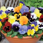 Pansy 'Most Scented Mix' - 72 pansy plug plants