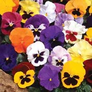 Pansy 'Tea Party' - 36 pansy plug plants