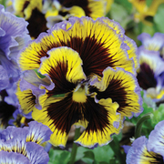 Pansy 'Frou Frou Mixed' - 36 pansy plug plants