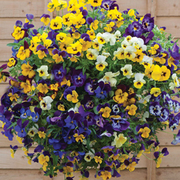 Pansy 'Waterfall Mix' - 72 pansy plug plants