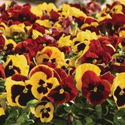 Pansy 'Autumn Blaze Mixed' (Garden Ready) - 30 pansy garden ready plants