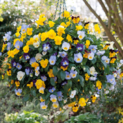 Pansy 'Cool Wave' (Pre-Planted Basket) - 1 x pansy pre-planted basket with 5 plants