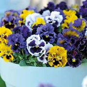 Pansy 'Frou Frou Mixed' - 1 packet (20 pansy seeds)