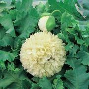Poppy 'Applegreen' - 1 packet (80 poppy seeds)