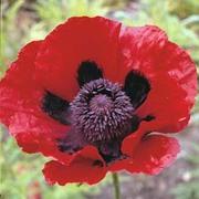 Poppy (Great Scarlet) - 1 packet (100 poppy seeds)