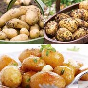 Potatoes for Planters Collection - 15 potato tubers - 5 of each variety