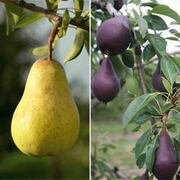 Pear Collection - 2 root wrap pear trees - 1 of each variety