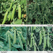 Peas 'Full Season Collection' - 12 pea jumbo plug plants - 3 of each variety