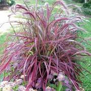 Pennisetum setaceum 'Fireworks' - 1 pennisetum jumbo plug plant