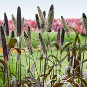 Pennisetum 'Blackjack' - 10 Postiplug plants