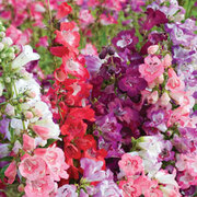 Penstemon cobaea 'Wedding Bells' Mixed (Garden Ready) - 30 penstemon garden ready plants