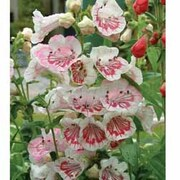 Penstemon 'Strawberries & Cream' - 3 penstemon jumbo plug plants