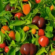 Sweet Pepper 'Mini Bell Mixed' - 1 packet (30 sweet pepper seeds)