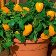 Sweet Pepper 'Mohawk' F1 Hybrid - RHS endorsed vegetable seeds - 1 packet (8 sweet pepper seeds)