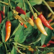 Chilli Pepper 'Tabasco' (Very Hot) - 1 packet (15 chilli pepper seeds)