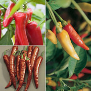 Chilli Pepper Collection - 6 x 5cm potted chilli pepper plants - 2 of each variety