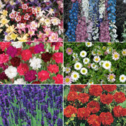 Perennial Pack A 'T&M's Choice' - 36 perennial plug plants - 6 of each variety