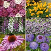 Perennial Pack B 'T&M's Choice' - 36 perennial plug plants - 6 of each variety
