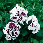 Petunia 'Purple Pirouette' F1 Hybrid - 1 packet (40 seeds)