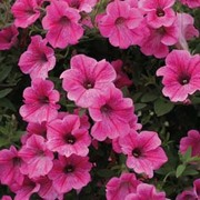 Petunia x hybrida 'Rose Vein Velvet' F1 Hybrid - 1 packet (12 petunia seeds)