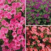 Petunia 'Trailing Trio' Offer - 1 packet of each variety (36 petunia seeds in total)