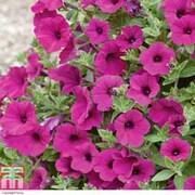 Petunia 'Purple Velvet' F1 Hybrid - 72 petunia plug plants