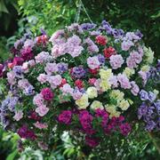 Petunia 'Frills & Spills'™ Mixed' (Pre-Planted Basket) - 1 x petunia pre-planted basket with 4 plants