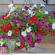 Petunia 'Trailing Surfinia Mixed' - 10 petunia Postiplug plants
