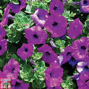Petunia 'Trailing Surfinia Purple' (Garden Ready) - 1 x 7cm potted petunia garden ready plant