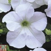 Petunia 'Trailing Surfinia White' - 5 petunia Postiplug plants