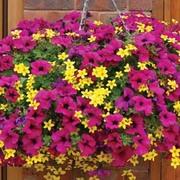 'Stars in their Eyes' Duo - 10 Postiplug plants - 5 of each variety