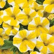 Petunia 'Lemon Slice' (Mini Petunia) - 5 petunia jumbo plug plants