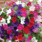 Petunia 'Cascading Mixed' - 2 petunia ready-planted baskets