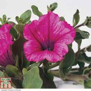 Petunia 'Trailing Surfinia Hot Pink' (Garden Ready) - 1 x 7cm potted petunia garden ready plant