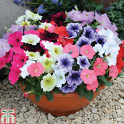 Petunia 'Frenzy Mixed' F1 Hybrid (Garden Ready) - 30 petunia garden ready plants