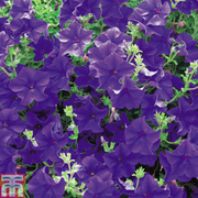 Petunia 'Trailing Surfinia Blue' (Garden Ready) - 1 x 7cm potted petunia garden ready plant