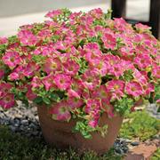Petunia 'Surfinia Green Edge Pink' - 10 petunia jumbo plug plants