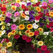 Petunia 'Kabloom Mixed' (Mini Petunia) - 24 petunia plug plants