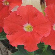 Petunia 'Frenzy Red' F1 Hybrid - 36 petunia plug plants