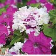 Petunia 'Art Deco' - 24 petunia plug plants