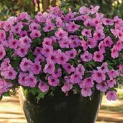 Petunia 'Easy Wave Bubblegum' - 12 petunia plug plants